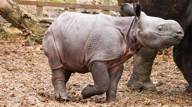 A baby greater one-horned rhino has been born at ZSL Whipsnade Zoo