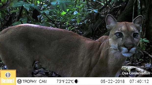 Photo - Close up camera trap image of a puma looking at the camera, with close forest behind it.