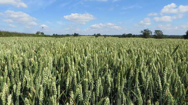 Photo - Wide landscape shot of a wheat field that is free from black-grass