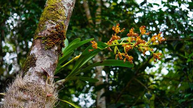 Photo - Wild orchid (Grammangis ellisiiof) flowering on a tree trunk in a rain forest in Madagascar.