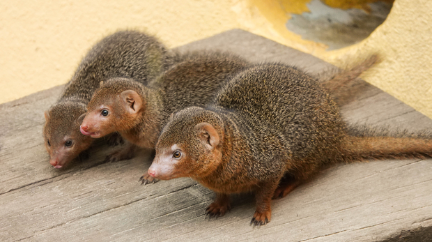 Baby mongoose pups at ZSL London Zoo