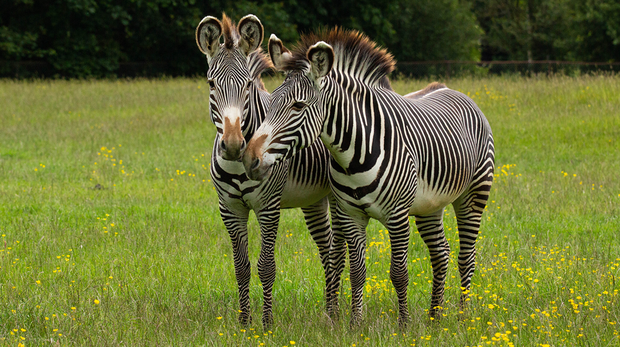 Two zebras at ZSL Whipsnade Zoo