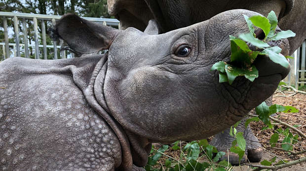 Baby greater one-horned rhino, Zhiwa, at ZSL Whipsnade Zoo