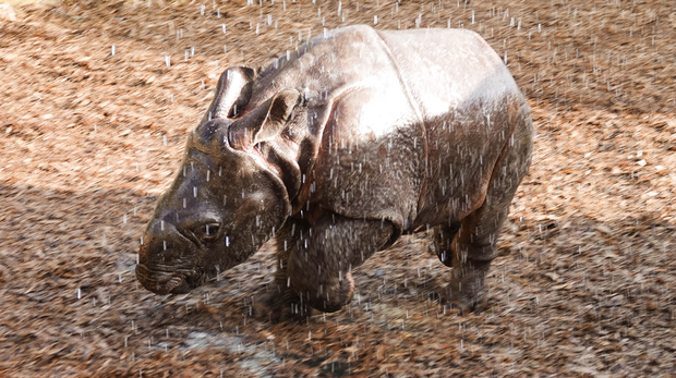 Baby rhino Zhiwa loves having a shower