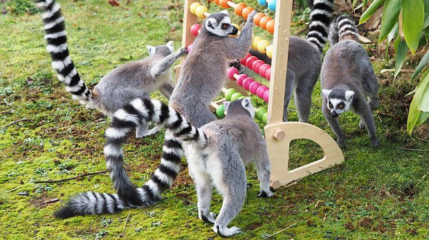 Ring-tailed lemurs take part in the annual stocktake at ZSL Whipsnade Zoo