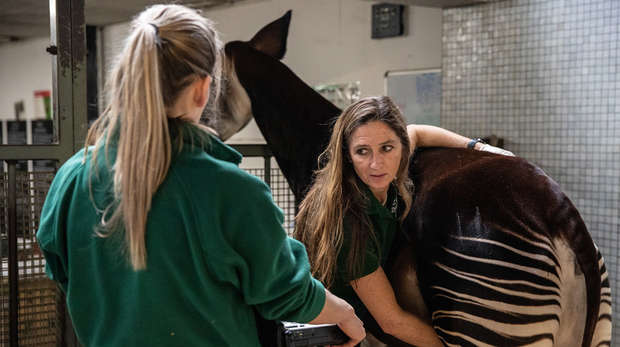 Keepers carry out an ultrasound on okapi Oni