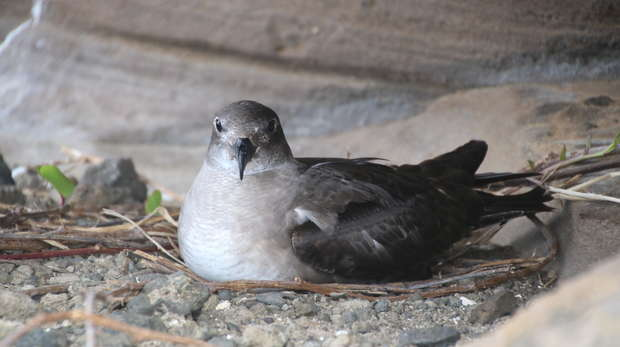 photo - an adult Petrel (bird) sits on its nest.