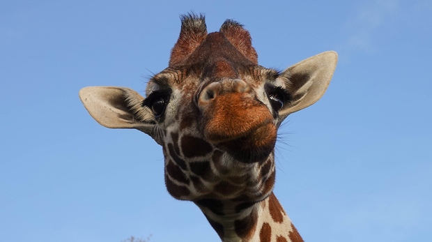 Ijuma the giraffe at ZSL Whipsnade Zoo