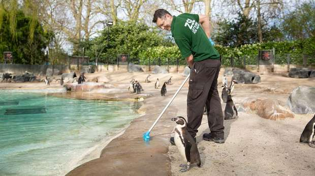 A keeper cleaning Penguin Beach at ZSL London Zoo