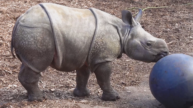Baby rhino Zhiwa plays with a ball at ZSL Whipsnade Zoo
