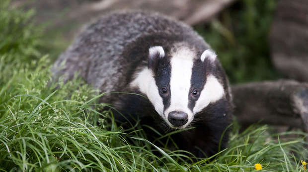 A badger in grass