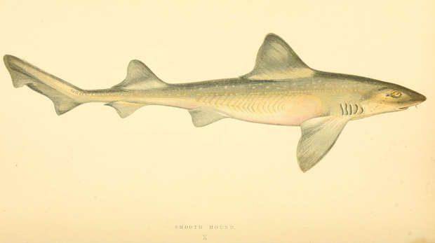 Starry smoothhound shark drawing