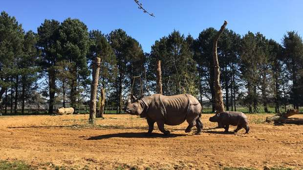 Behan and Zhiwa explore the large paddock in the sunshine at ZSL Whipsnade Zoo