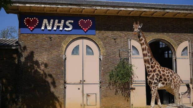 Giraffe at ZSL London Zoo stand tall next to an NHS sign to say thank you to key workers