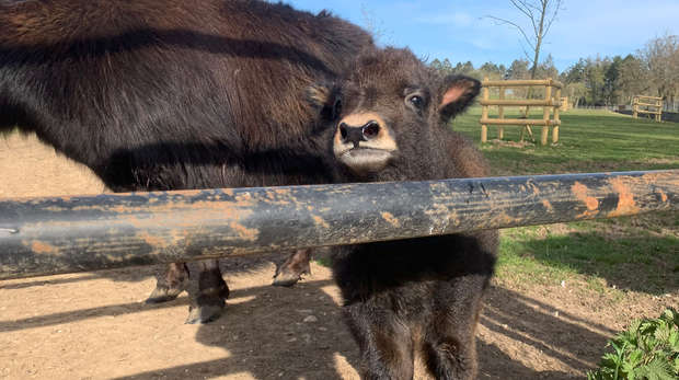 Baby yak Ginny at ZSL Whipsnade Zoo