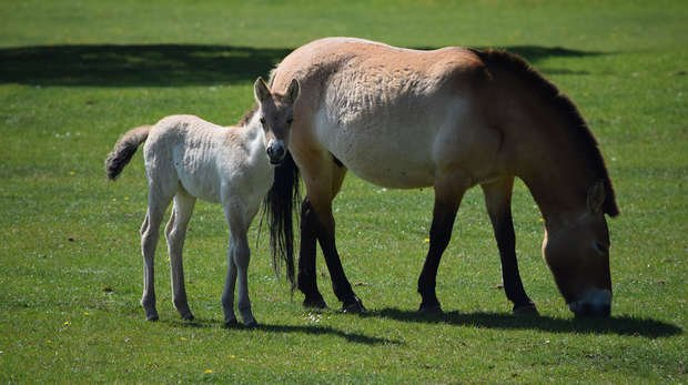 An endangered Przewalski's foal has been born at ZSL Whipsnade Zoo