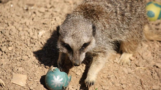 Meerkats enjoy Easter egg treats at ZSL London Zoo