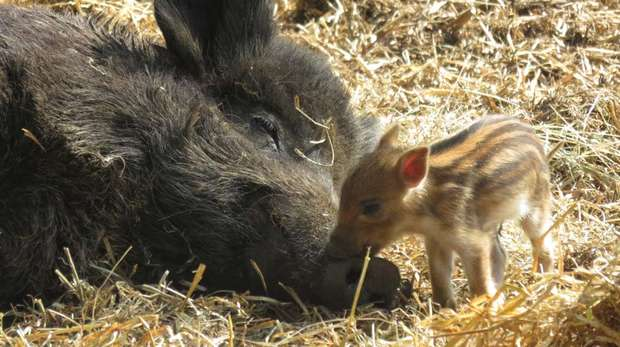 Wild boar piglets have been born at ZSL Whipsnade Zoo