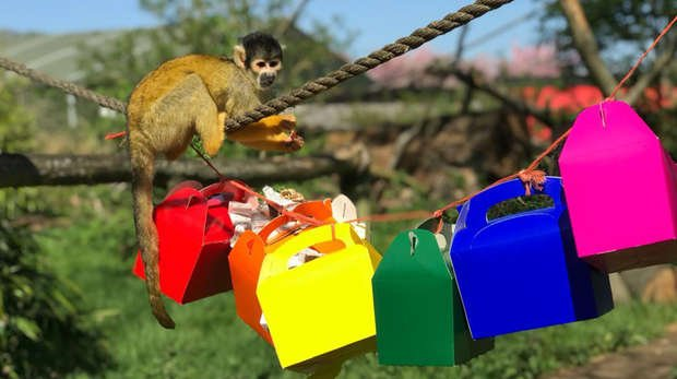 A squirrel monkey at ZSL Whipsnade Zoo enjoys rainbow-themed treats