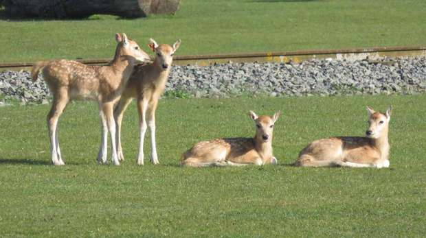 Three deer fawns sat on grass