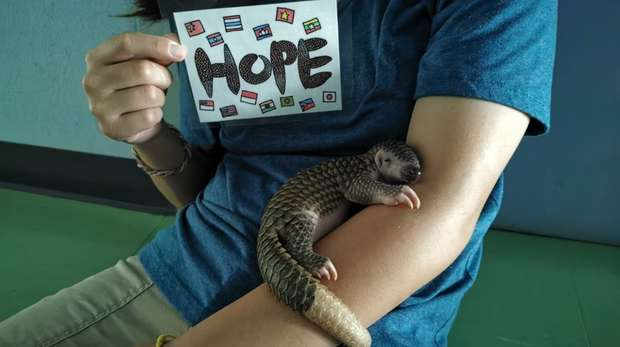 ZSL nurses Critically Endangered wild pangolin called Hope back to health