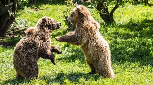 Bears play-fighting at ZSL Whipsnade Zoo