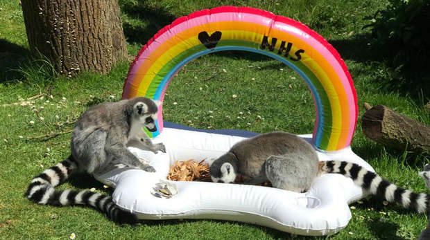 Ring-tailed lemurs enjoy treats at the end of the rainbow at ZSL Whipsnade Zoo