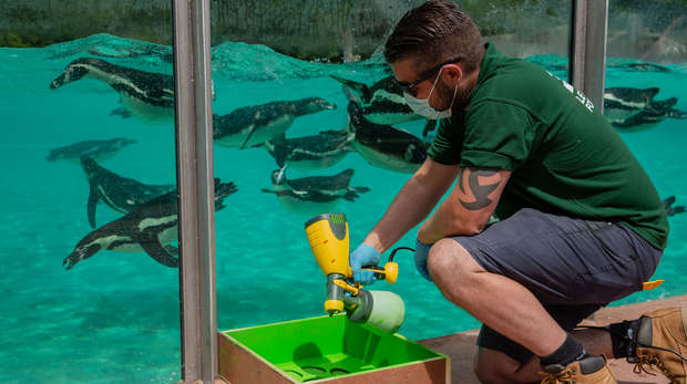 Zookeeper in mask disinfects the edge of the penguin enclosure