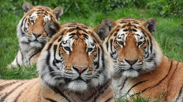 Amur tigers Makari, Czar, and Dmitri celebrate their second birthday