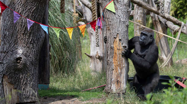 ZSL London Zoo's gorilla troop celebrate the reopening
