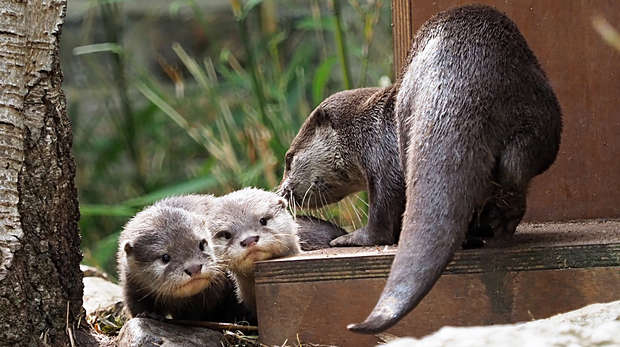 Two otter pups, nicknamed Bubble and Squeak, have been born at ZSL London Zoo