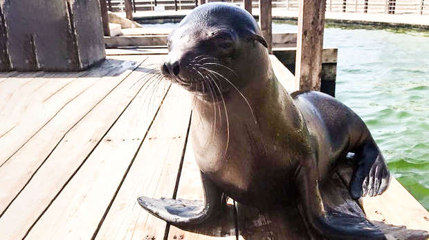 baby sealion on wooden deck