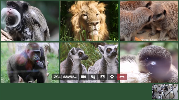 Animals all attending a Zoom call online