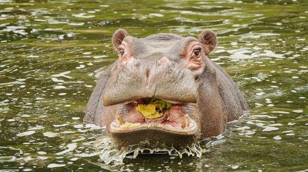 Hodor the hippo takes a dip in the pool on his third birthday