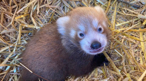 A red panda cub has been born at ZSL Whipsnade Zoo