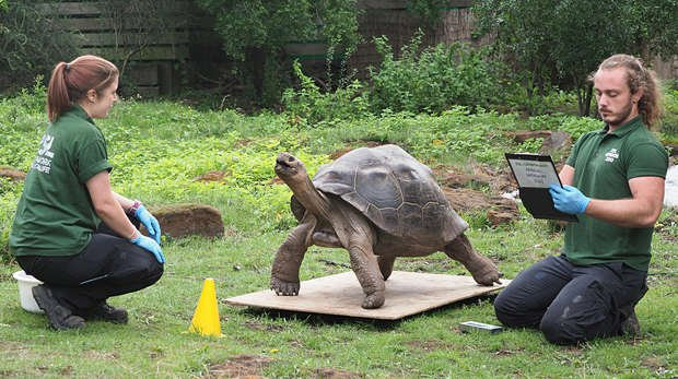Galapagos tortoise Polly is weighed by keepers Joe Capon and Charli Ellis and comes in at 116.7kg
