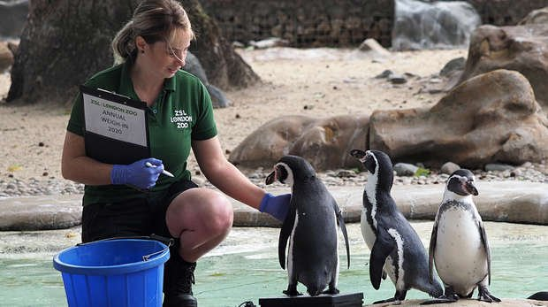 Keeper Eva Konczol weighs the Humboldt penguins at the Annual Weigh In at ZSL London Zoo