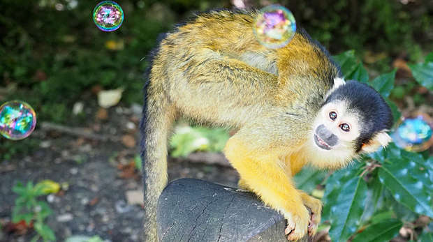 squirrel monkey looking up at bubbles in the air