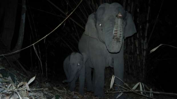 Picture of an elephant and calf in the night walking in the forest