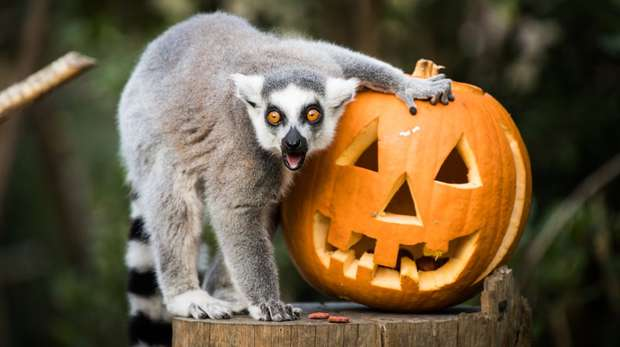 The lemurs enjoy pumpkin treats at ZSL London Zoo