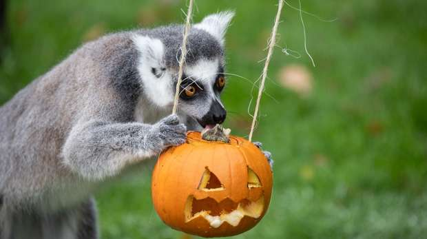 A lemur with a pumpkin at ZSL Whipsnade Zoo