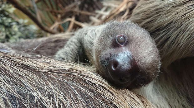 Truffle the baby sloth at ZSL London Zoo