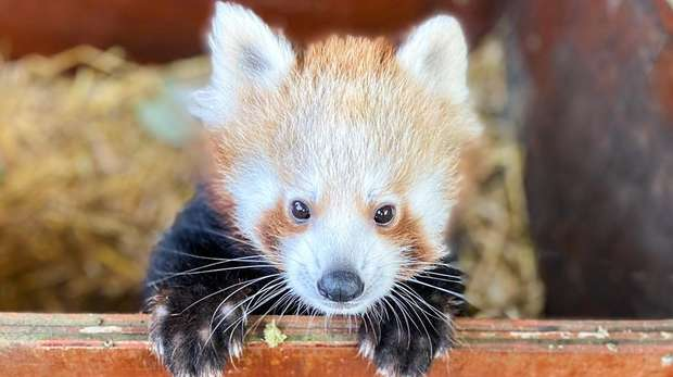 Adorable red panda baby Nilo at ZSL Whipsnade Zoo
