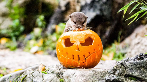 An otter enjoys treats hidden inside a pumpkin at ZSL London Zoo
