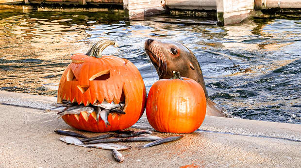 Our sea lions enjoyed creepy carved pumpkins filled with tasty fish