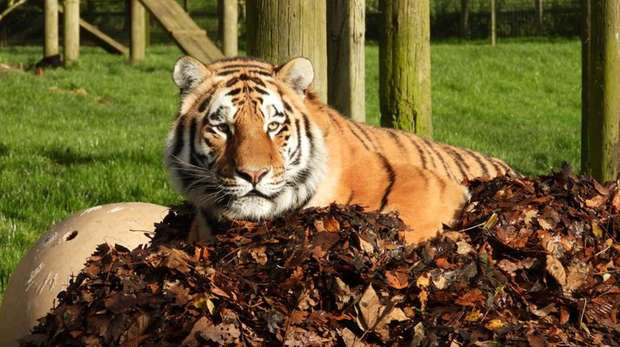 An Amur tiger playing in a leaf pile at ZSL Whipsnade Zoo