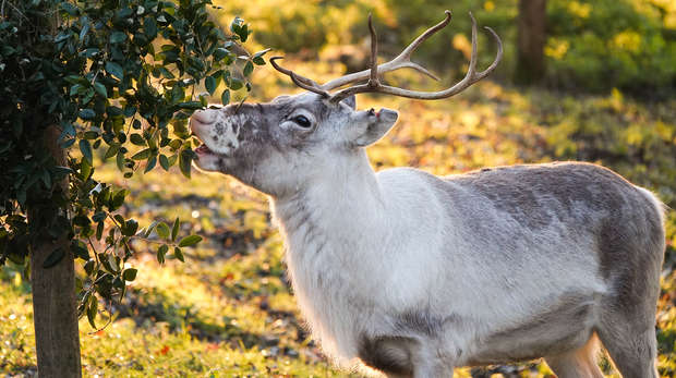 Heidi the reindeer at ZSL Whipsnade Zoo