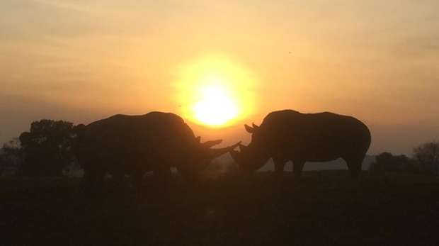 Southern white rhinos Sizzle and Jaseera pose in front of a sunset at ZSL Whipsnade Zoo