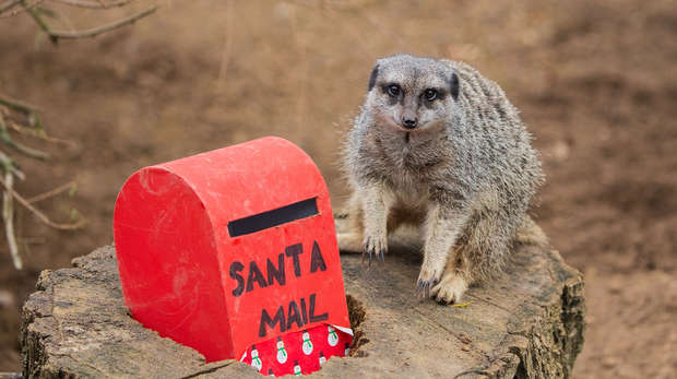 A meerkat poses by a post box at ZSL London Zoo