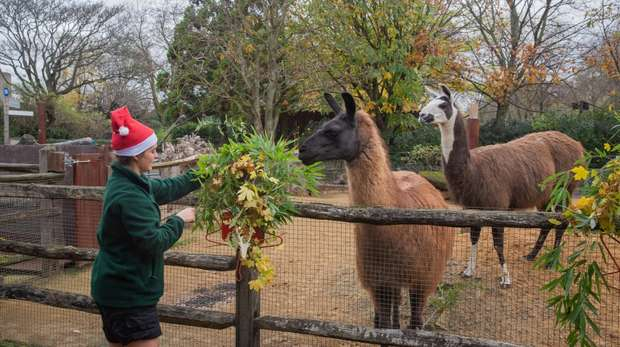 Ande the llama with a Christmas wreath at ZSL London Zoo